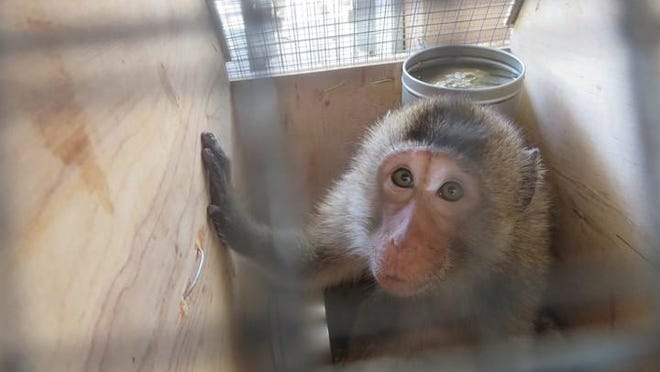 Monkeys are shipped from Primate Products in small, wire-floored crates to those who buy and experiment on them.