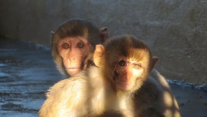 Monkeys huddle together at Primate Products, photographed by a PETA worker who documented conditions undercover at the monkey farm for eight months.