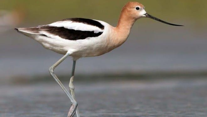 This is an undated contributed photo of an American avocet.