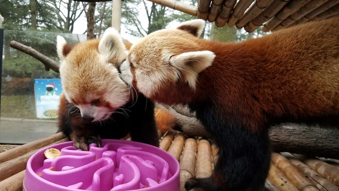 FILE: This Jan. 2, 2017, photo provided by the Elmwood Park Zoo shows a red panda named Shredder, left, and his brother Slash, right, at the zoo in Norristown, Pa. The species is listed as endangered, with fewer than 10,000 red pandas living in the wild.