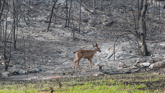 A deer feeds on some green vegetation near Middle Creek Rd in Redding, August 3, 2018