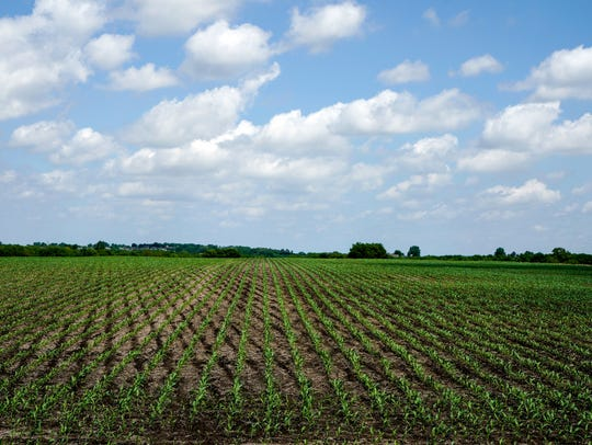 Young corn plants grow in a field in rural Ashland,