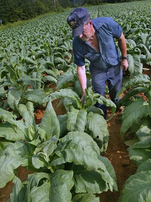 A farmer pulls suckers from part of his dark-fired tobacco crop in this 2003 photo.