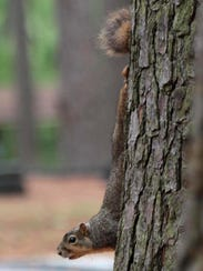 A squirrel scampers down a tree at Kiroli Park