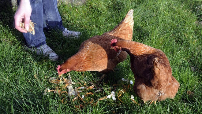 Hens being fed.