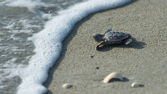 A loggerhead turtle hatchling crawls to the Atlantic Ocean at Virginia Forrest Beach in Stuart on July 20, 2015.