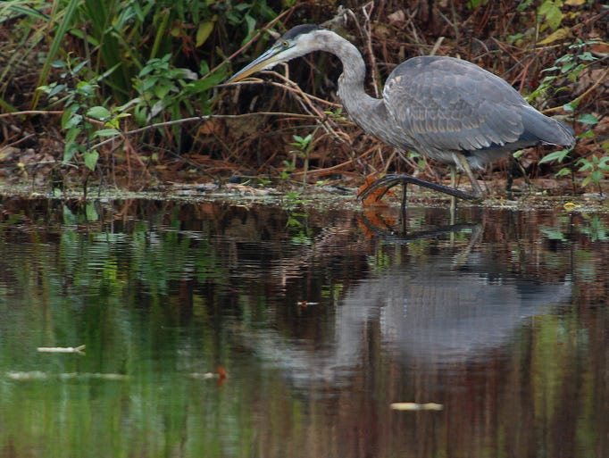 A great blue heron walks along the banks of the Wisconsin