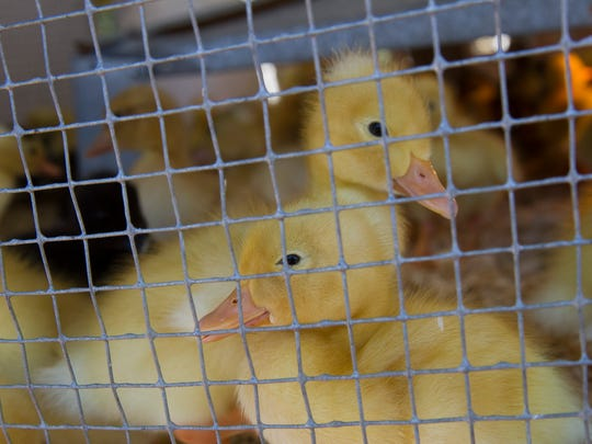 Baby ducks wander around their heated enclosure on