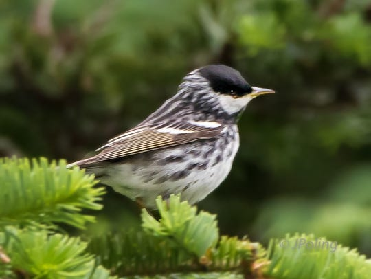 The Blackpoll Warbler shown in breeding feathers uses