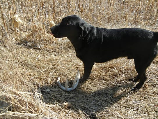 Finding quantities of shed antlers is dependent on