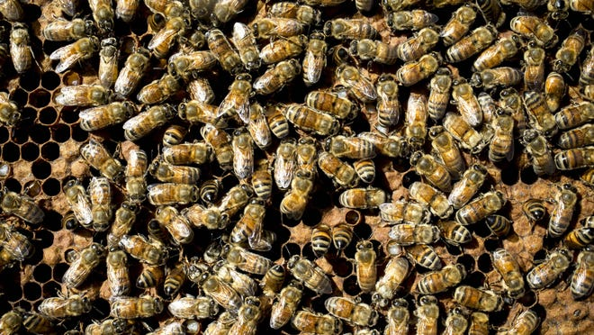 The highly aggressive Africanized bee population has risen by at least 1,000 percent in Arizona this year, according to Reed Booth. Mark Henle/The Republic