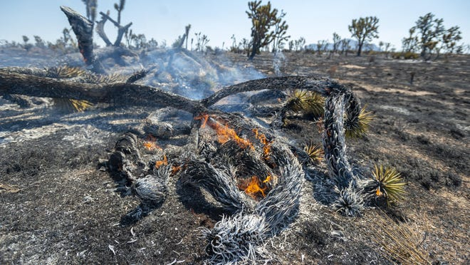 Joshua trees burn in the Dome Fire within the Mojave National Preserve on Monday, Aug. 17, 2020.