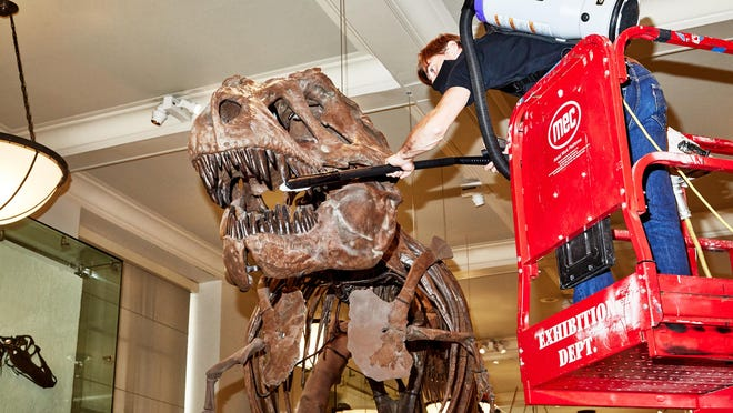 A worker cleans the T. rex at the American Museum of Natural History in New York, before the museum's reopening on Wednesday.
