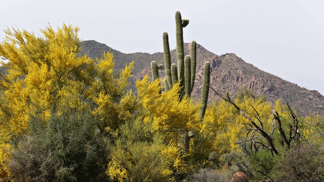 Desert views including cloud cholla and saguaros can be enjoyed from many high-end neighborhoods in the northeast Valley.