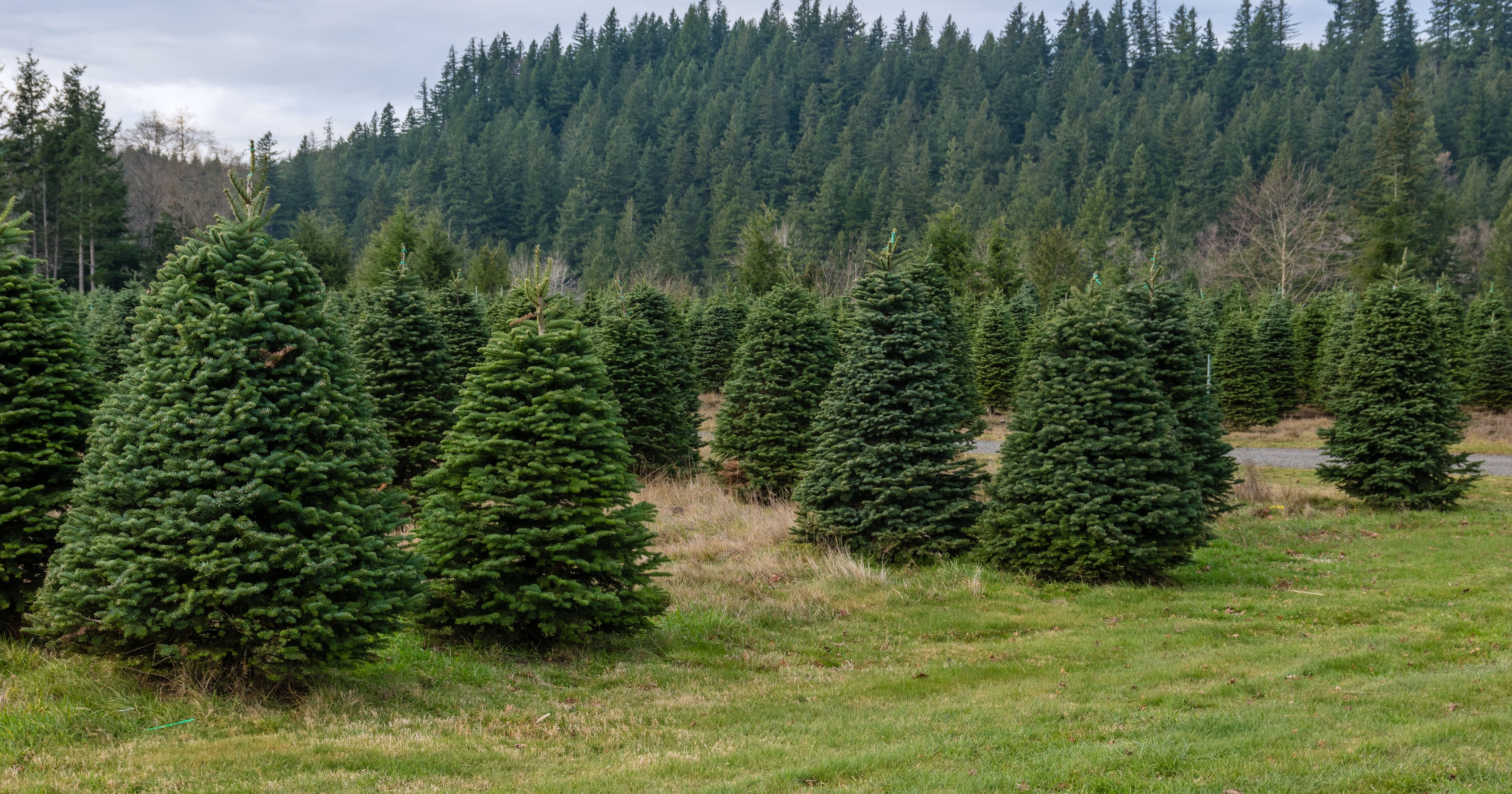 Need A Christmas Tree Chop Locally
