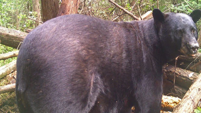 A successful hunt for this giant Waupaca County black bear Sept. 21 sparked prejudiced commentaries about hunters and false assumptions about hunting tactics.