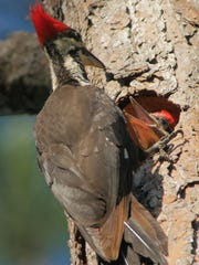 Female pileated woodpecker feeds her young in the cavity she excavated in a snag.