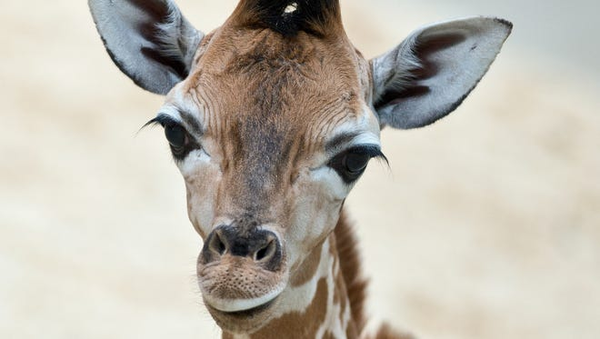 A baby giraffe at 'Opel Zoo' in Kronberg am Taunus , near Frankfurt, central Germany, on May 28, 2014.