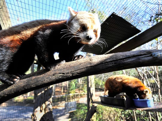 Zookeepers hope Firecracker, a male red panda, will mate with a younger female in its breeding program. The first panda birth at the Greenville Zoo happened in 2006.