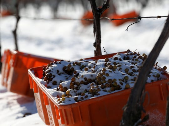 The ice wine harvest at Casa Larga Vineyards in Perinton. Thursday's conditions were optimal for harvesting grapes for ice wine.