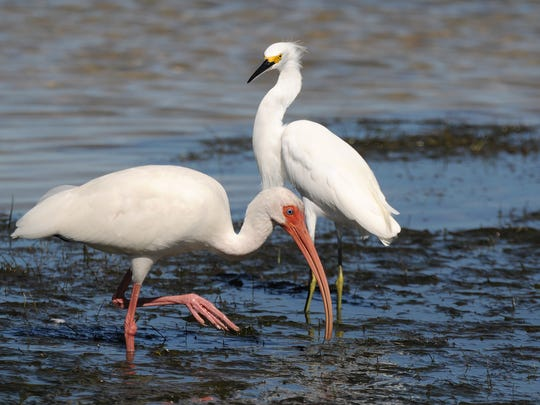 File: A white ibis searches the mudflats while a snowy egret keeps watch.