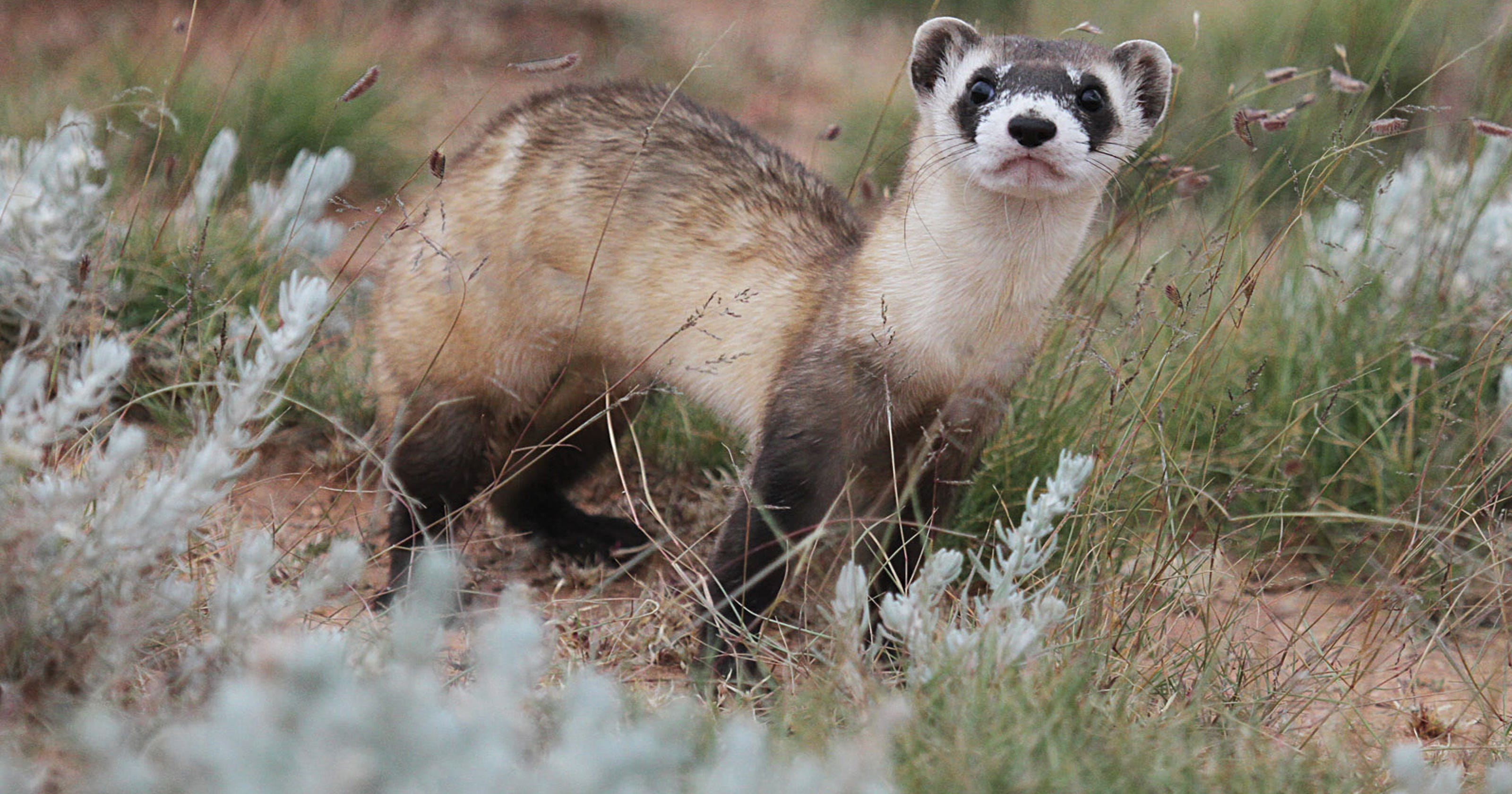 pictures-of-black-footed-ferret