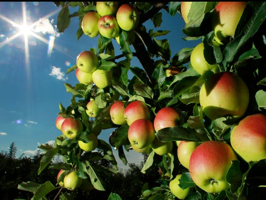 In this Aug. 26, 2014 photo, apples begin to ripen at Carter Hill Orchard in Concord, N.H. Apple growers in Wisconsin and other areas are expecting a decent crop this year.