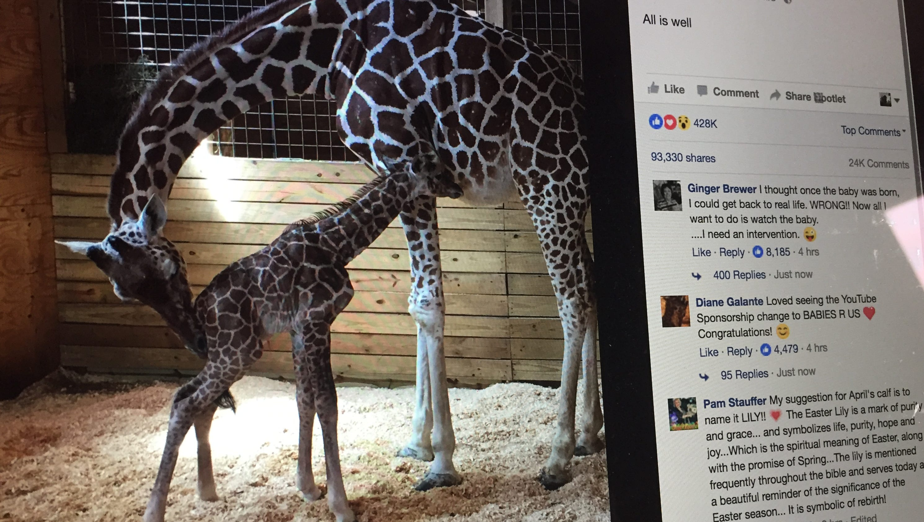 Its a boy perfect delivery for april the giraffe at animal perfect delivery for april the giraffe at animal adventure park biocorpaavc Images