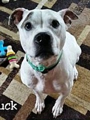 Buck is an adult, neutered, male pit bull terrier whose