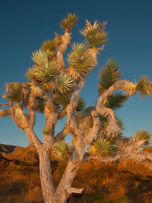 A Joshua tree can be a majestic sight in the Arizona desert climate.