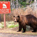 A reader took this photo recently of a bear in Glacier National Park.If you have a favorite outdoors photo to share, send it to triboutdoors@greatfallstribune.com