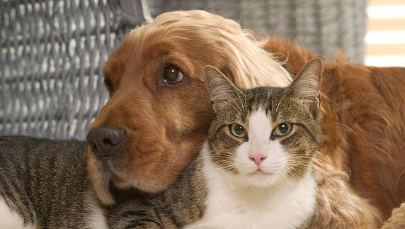 Cocker spaniel relaxing with a cat, Canis familiaris, indoors. (Photo by: Auscape/UIG via Getty Images)