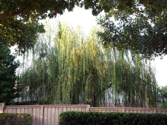 636512869457441095-1-8-18-Weeping-willow-is-started-from-cuttings.jpg