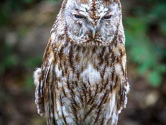 Stolen Owl_Curt.jpg