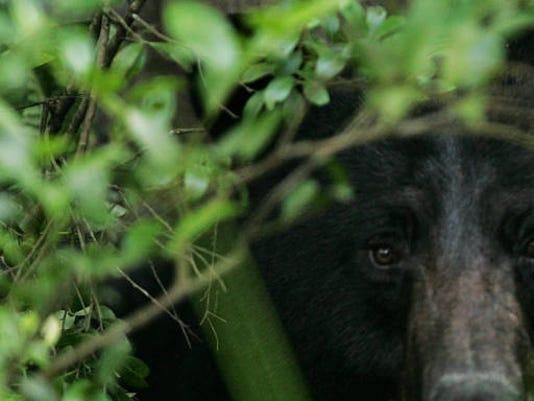 Black Bear photo