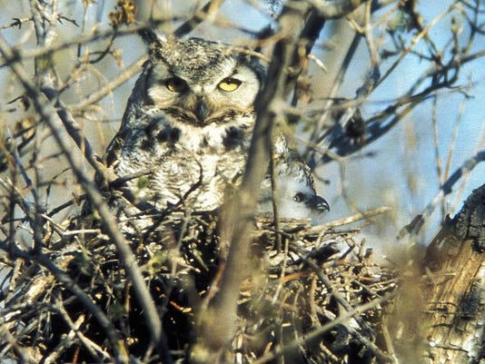 -great horned owl.jpg_20140211.jpg