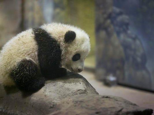 National Zoo Panda_Demk(1).jpg