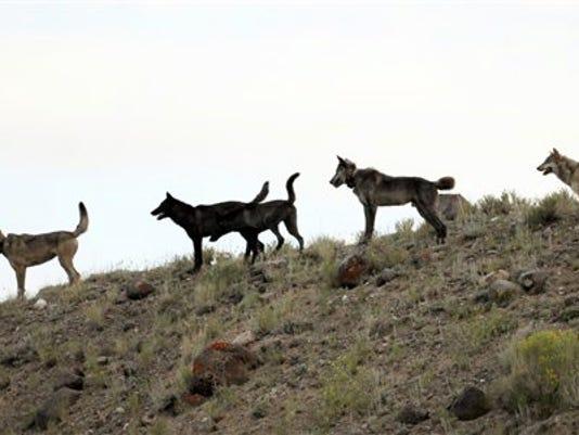 -wolves.jpg_20130302.jpg