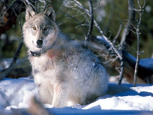 -Yellowstone Wolves.jpg_20130209.jpg