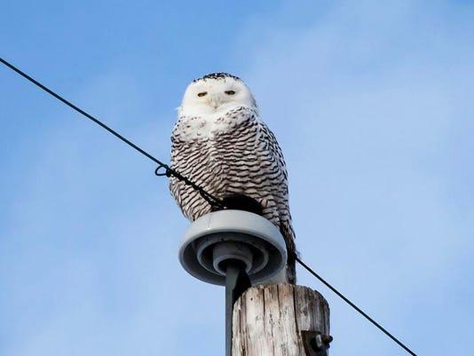BUR 1213 snowy owl c1