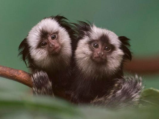 -Marmoset Twins.JPEG-0be90.jpg_20140204.jpg