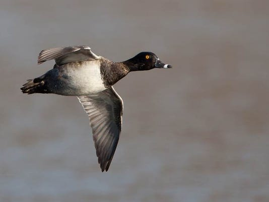 04ringed billed duck by ronnie maum.jpg