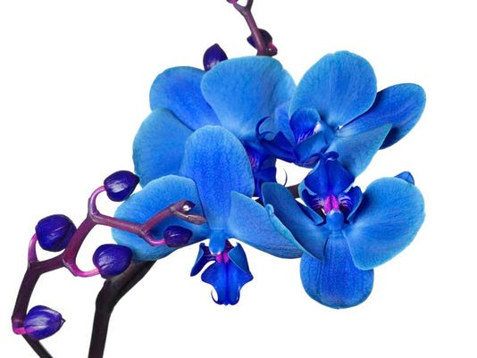 Blue phalaenopsis orchids dont grow naturally phalaenopsis orchids this vibrant get their blue color from a commercial dye and will grow white flowers during the next bloom cycle mightylinksfo