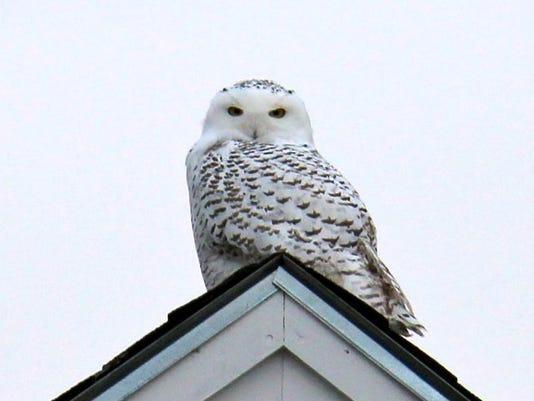 BUR 1213 snowy owl c3.jpg