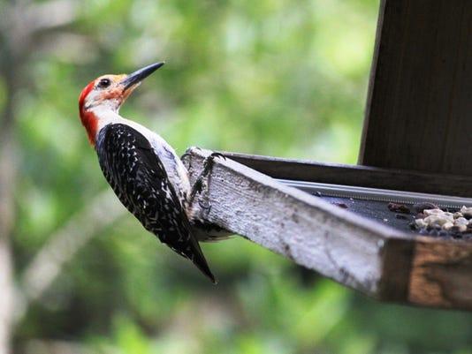 RB-Woodpecker-5.jpg