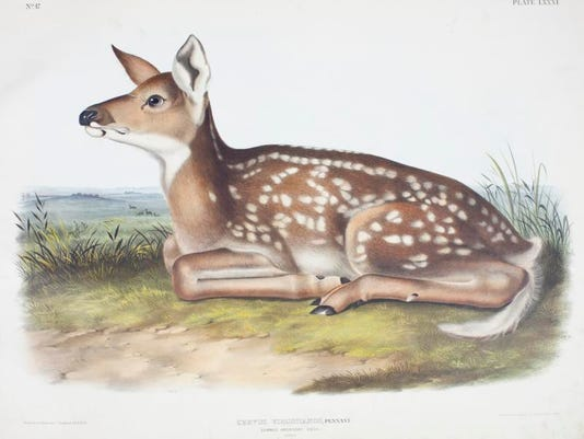 American_Deer.jpg