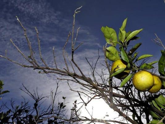 -BREBrd_12-13-2013_Daily_1_B010~~2013~12~12~IMG_Citrus_Greening_Emer_2_1_3O5.jpg