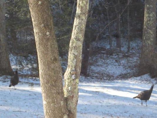 Wild turkeys in snow7.JPG