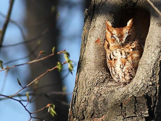 owl_screech_cary_dk0524.jpg