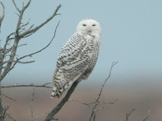 CHL 1207 Snowy owls 01 MAIN